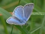 Silverblåvinge (hane) - Polyommatus amandus - Amanda's Blue (male)