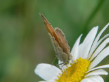 Kamgräsfjäril - Coenonympha pamphilus - Small Heath