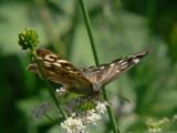 Kvickgräsfjaril - Pararge aegeria - Speckled Wood