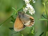 Pärlgräsfjäril - Coenonympha arcania - Pearly Heath