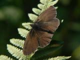 Luktgräsfjäril - Aphantopus hyperantus - Ringlet