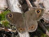 Vitgräsfjäril - Lasiommata maera - Large Wall Brown