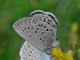 Violett blåvinge -  Plebejus optilete - Cranberry Blue