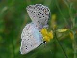 Violett blåvinge och silverblåvinge -  Plebejus optilete &  Polyommatus amandus - Cranberry Blue and Amanda's Blue
