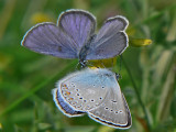 Violett blåvinge (och silverblåvinge) -  Plebejus optilete (&  Polyommatus amandus) - Cranberry Blue (and Amanda's Blue)