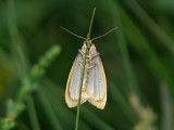 Vit borstspinnare - Cybosia mesomella - Four-dotted Footman