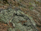 Vitmosslav - Icmadophila ericetorum - Candy Lichen or Spraypaint