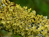 Granlav - Vulpicida pinastri - Powdered sunshine lichen