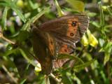 Skogsgräsfjaril - Erebia ligea - Arran Brown