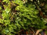 Tetraphis pellucida - Fyrtandsmossa - Pellucid Four-tooth Moss