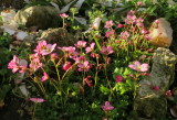 Saxifrage  in  bloom.