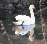 Swan on the Roding