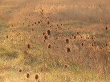 Teasels in the sunrise