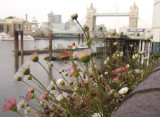 Daisies,with Tower Bridge behind.