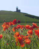 Poppies beneath the Belle Tout lighthouse.