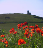Roadside poppies and the Belle Tout lighthouse