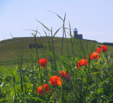 Poppies and grasses,backed by the Belle Tout lighthouse.