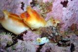 Sea Peach and whelk
