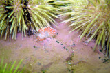 Red Gill Nudibranch (amongst Sea Urchins)