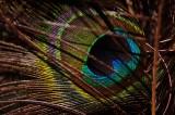 eye of peacock