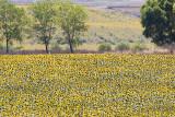 Sun Flower Field-istanbul_2694.JPG