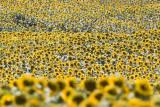 Sun Flower Field-istanbul_2701.jpg