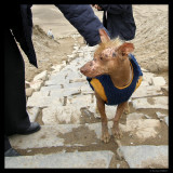 Hairless indigenous Peruvian dog, Lima