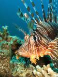 Lion Fish Portrait, Jordan (Red Sea)
