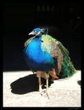 Peacock, Havana