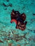 'Dancing' Flat worm
