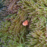 pink aneonefish (Aka Asian Nemo)
