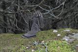 Gélinotte huppée -- _MG_1735 -- Ruffed Grouse