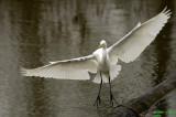 Great Egret at Delta Ponds