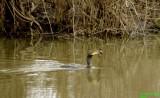 Cormorant fishing at Delta Ponds