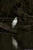 Secluded egret