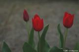 Tulips won't tell