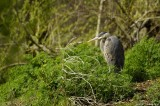 Great Blue Heron - why is it in the bushes?