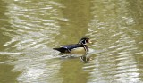 Wood Duck - aren't they gorgeous?