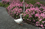 Goose on parade
