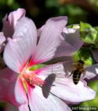 Bee's shadow on flower