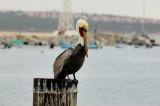 A resting pelican