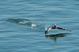 A pelican is taking off from water