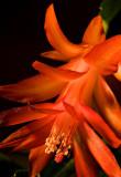 _07-02 Christmas Cactus 01.JPG
