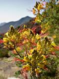 07-05 Blooming Mesquite.JPG