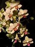 07-05 Mainau orchids 08.JPG