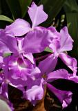 07-05 Mainau orchids 11.JPG