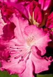 07-05 Rhododendron Mainau 16.JPG