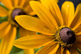 07-07 Black-eyed Susan 05.JPG