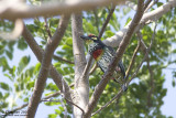 Coppersmith Barbet Gallery