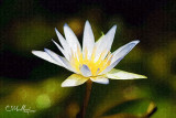waterlily #4